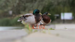 Two male ducks in the partk Stock Footage