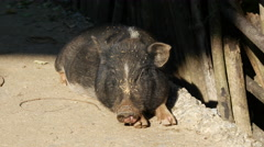 Pig resting in the sun Stock Footage