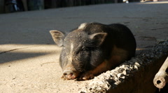 Pig resting on the street in the sun Stock Footage