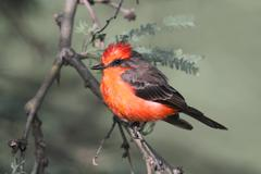 Vermilion flycatcher (pyrocephalus rubinus) Stock Photos