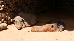 Pigs resting in the shadow Stock Footage