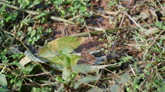 Brown butterfly in the forest in North Thailand, Asia Stock Footage