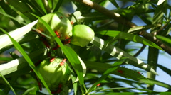 Red insects at green fruit in the rain forest of North Thailand, Asia Stock Footage