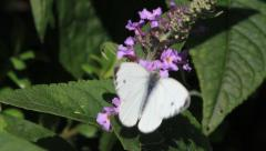 Butterfly, white,  on lilac, summer, garden Stock Footage