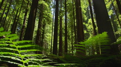 4K Dolly Shot Looking Up Through Ferns in Redwood Forest Stock Footage
