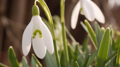 Flowering snowdrops in early spring, close-up 1 Stock Footage