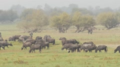 Herd of water buffalos for environmental management 4 Stock Footage