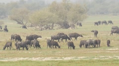 Water buffalos for environmental management 6 Stock Footage