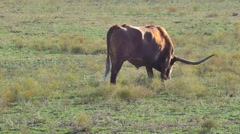 Brown Long Horn cow grazing video Stock Footage