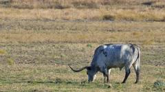 Long horn Cattle feeding on a farm Stock Footage