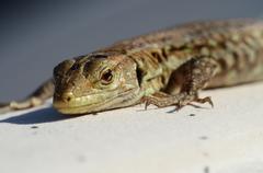 macro of small lizard - stock photo