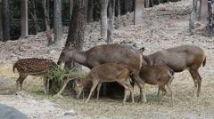Deer Eating Grass in Zoo - stock footage