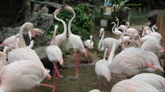 Pink Flamingo (Phoenicopterus ruber) Stock Footage