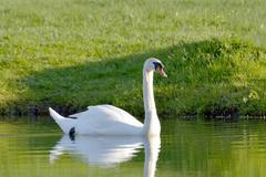 swan on the lake water in a sunny day - stock photo
