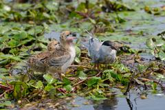 the whiskered tern. birds with chicks - stock photo