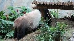 Linping panda bear in Thailand Stock Footage