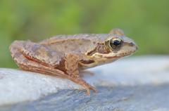 The common frog, rana temporaria also known as the european common frog Kuvituskuvat