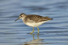 Green sandpiper in natural habitat ( tringa ochropus) Stock Photos