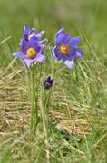 Mountain pasqueflower (pulsatilla montana) Stock Photos