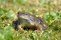Agile frog (rana dalmatina) in grass Stock Photos