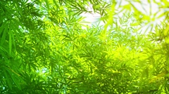Green and yellow bamboo leaves in soft light Stock Footage