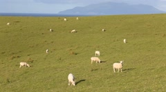 Sheep grazing on coastal farmland - stock footage