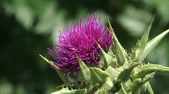 Spiny bracts and pink flower of Silybum marianum, or Milk Thistle - close up Stock Footage