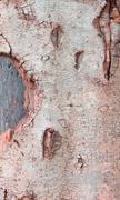 wood bark texture of giant tree. - stock photo