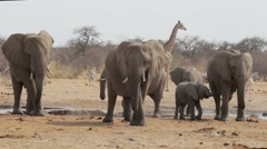 Herd of African elephants drinking at a muddy waterhole, Etosha Stock Footage