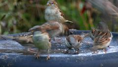 sparrows in the garden when eating - stock footage