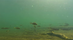 School of perch and the gleaming sun - stock footage