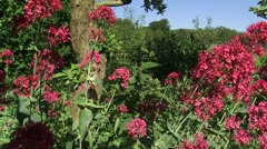 Centranthus ruber or red valerian blooming - eye level Stock Footage