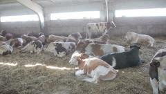 cows under a canopy on the farm - stock footage