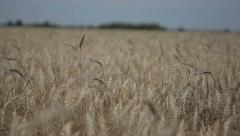 Spikelets of wheat in the sunlight Stock Footage