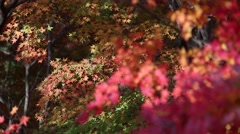 Japanese Autumn - Maple Leaves Stock Footage