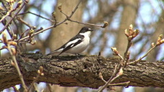 Bird Semi-collared Flycatcher perching and singing on a tree branch in forest - stock footage
