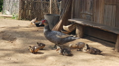 Mother with baby ducks in a village in Laos Stock Footage