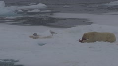 Polar Bear Eating 01 Stock Footage