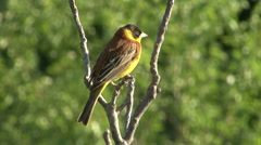 Bird Black-headed Bunting singing on a branch and perching after migration Stock Footage