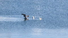 Pelican and Sea Gull Fighting Stock Footage