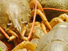 Crayfish to beer. Related clips are in my portfolio in 1920x1080. Stock Footage