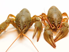 Crayfish on a white background. Related clips are in my portfolio in 1920x1080. Stock Footage