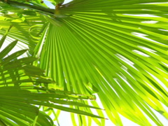 Palm tree leaves. Related clips are in my portfolio in 1920x1080. Stock Footage