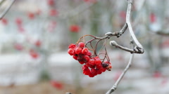 Field-ash tree with bright red berries Stock Footage