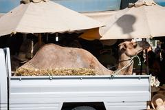 Transportation of camel by car in tunisia Stock Photos