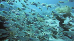 Shoal of Glassfish (Golden Sweepers) in clear blue water of the Red Sea Stock Footage
