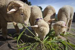 Merino sheep eating ruzi grass leaves on wood ground of rural ranch farm with Stock Photos