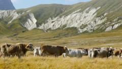 Herd of cattle in greenland pasture panoramic view Stock Footage