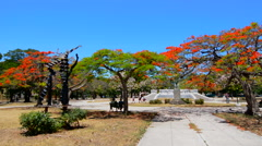 Havana Cuba beautiful royal poinciana tree and park in downtown city Stock Footage