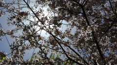 Lukla Nepal The sun shining through the blooming cherry blossoms near remote Mt Stock Footage